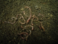Earth Worm Eisenia fetida