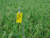 6 - Paddy Trial Plot